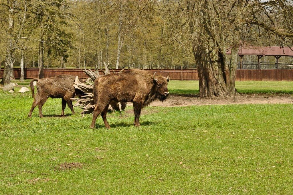 Białowieski Park Narodowy żubry